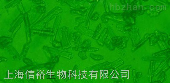 MSTO-211H 细胞;人肺癌细胞