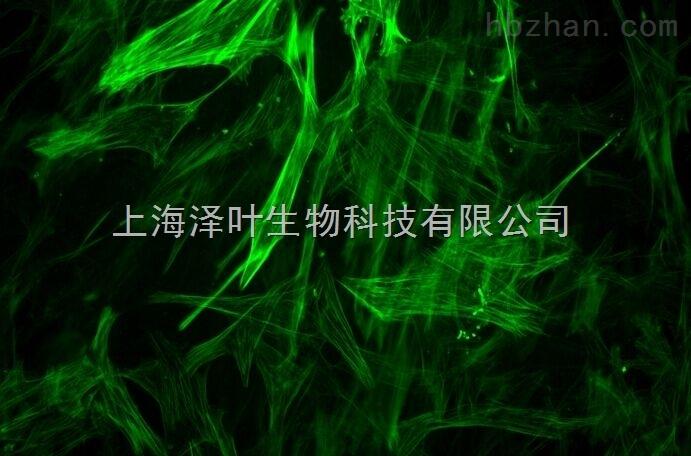 人小脑颗粒细胞