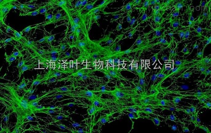 大鼠小肠血管内皮细胞